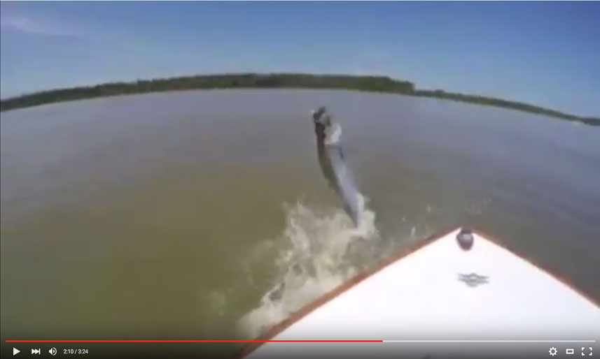 Tarpon Fight Video